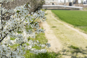道端の梅の花の写真素材 [FYI01205853]