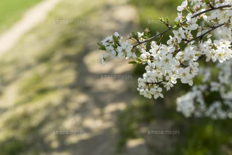 道端の梅の花の写真素材 [FYI01205854]