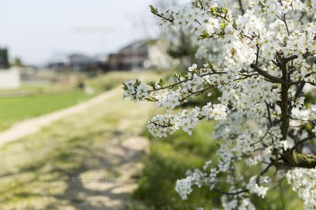 道端の梅の花の写真素材 [FYI01205855]