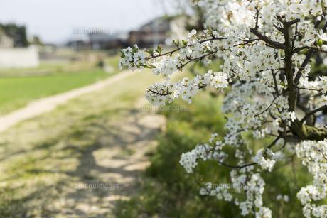 道端の梅の花の写真素材 [FYI01205856]