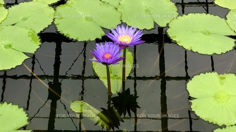 water lily 2の写真素材 [FYI01205900]