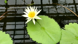 water lily 3の写真素材 [FYI01205901]