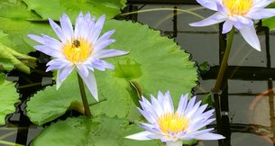 water lily & bugの写真素材 [FYI01205902]