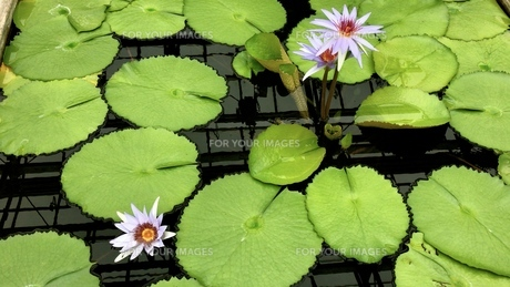 water lily 5の写真素材 [FYI01205903]