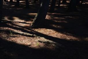 松林 ・ 真夏の公園の片隅のマツ林の木陰で 松ポックリが涼風に吹かれている…の写真素材 [FYI01205934]