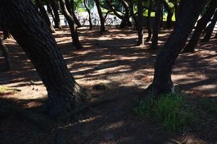 松林 ・ 真夏の公園の片隅のマツ林の木陰で 松ポックリが涼風に吹かれている…の写真素材 [FYI01205935]