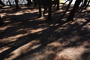 松林 ・ 真夏の公園の片隅のマツ林の木陰で 松ポックリが涼風に吹かれている…の写真素材 [FYI01205936]