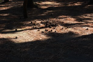 松林 ・ 真夏の公園の片隅のマツ林の木陰で 松ポックリが涼風に吹かれている…の写真素材 [FYI01205937]