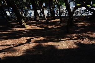 松林 ・ 真夏の公園の片隅のマツ林の木陰で 松ポックリが涼風に吹かれている…の写真素材 [FYI01205938]