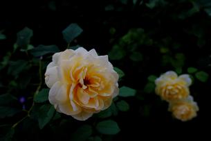 薔薇の写真素材 [FYI01206073]