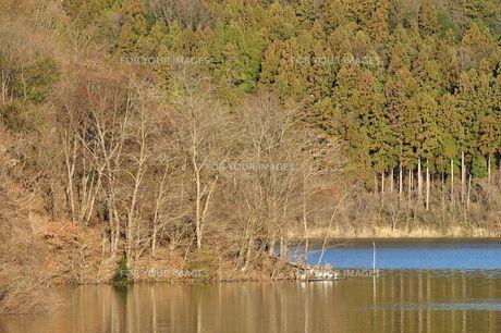 湖畔に群れるアオサギの写真素材 [FYI01206089]