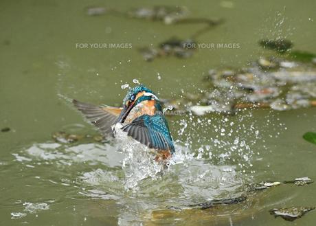 カワセミの捕食の写真素材 [FYI01206192]
