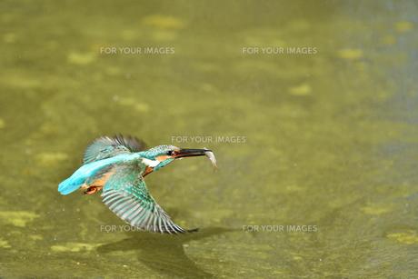 カワセミの捕食の写真素材 [FYI01206193]