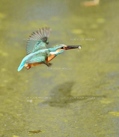 カワセミの捕食の写真素材 [FYI01206194]