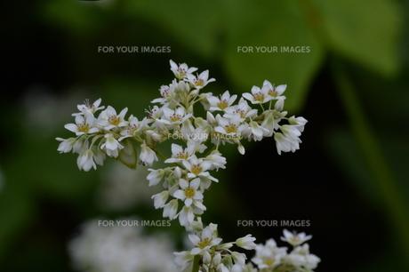 信州の蕎麦畑、蕎麦の花の写真素材 [FYI01206483]