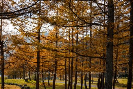 落葉松林の写真素材 [FYI01206521]