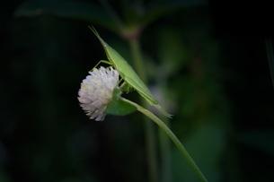 雨上がりの夜明けのバッタと白い花の写真素材 [FYI01206549]