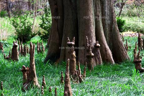 落羽松の森の写真素材 [FYI01206609]