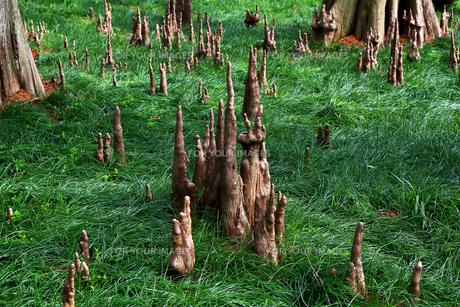 落羽松の森の写真素材 [FYI01206610]