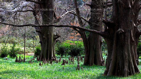 落羽松の森の写真素材 [FYI01206611]