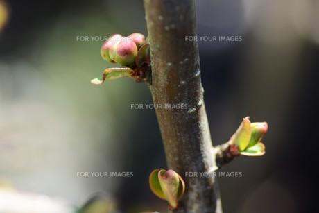 梅の花の写真素材 [FYI01206699]