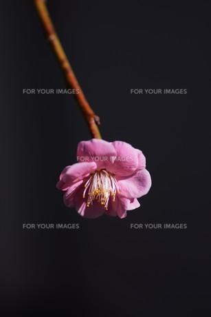 梅の花の写真素材 [FYI01206700]