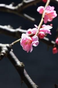 梅の花の写真素材 [FYI01206701]