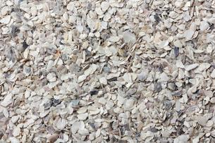 牡蠣の殻の写真素材 [FYI01206882]