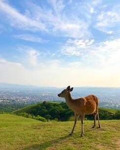 奈良の鹿の写真素材 [FYI01206991]