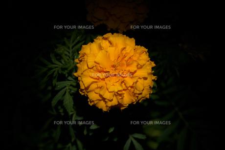 黒バックのマリーゴールドの写真素材 [FYI01206996]