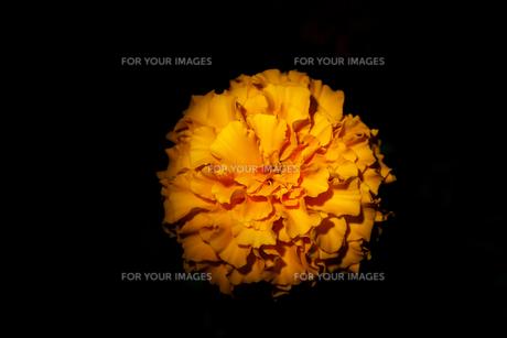 黒バックのマリーゴールドの写真素材 [FYI01206997]