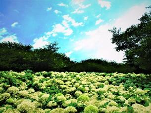 白のあじさいの御花畑の写真素材 [FYI01207201]