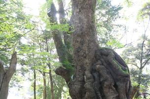 熱海の大楠の写真素材 [FYI01207316]