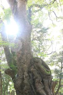 日差しと大楠の写真素材 [FYI01207317]
