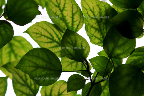 大きな緑の葉のテクスチャの写真素材 [FYI01207354]