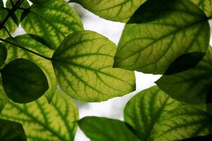 大きな緑の葉のテクスチャの写真素材 [FYI01207355]