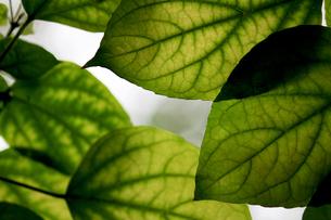 大きな緑の葉のテクスチャの写真素材 [FYI01207356]