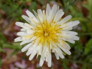 白花蒲公英 シロバナタンポポ Taraxacum albidumの写真素材 [FYI01207373]