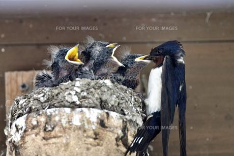 燕の子育ての写真素材 [FYI01207388]