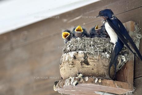 燕の子育ての写真素材 [FYI01207389]