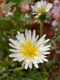 白花蒲公英 シロバナタンポポ Taraxacum albidumの写真素材 [FYI01207390]