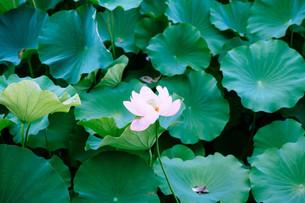 満開の蓮子の写真素材 [FYI01207447]
