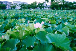 夕景と蓮池の写真素材 [FYI01207448]