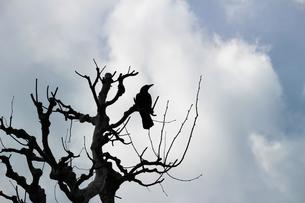 冬のプラタナスの木に佇むカラスのシルエットの写真素材 [FYI01207505]