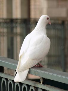 白い鳩の写真素材 [FYI01207515]