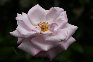 ブルーライト藤色のバラの写真素材 [FYI01207519]