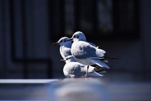 ユリカモメ ・ 群れ飛ぶ姿は一面に真っ白な花が咲いたように美しい…の写真素材 [FYI01207622]