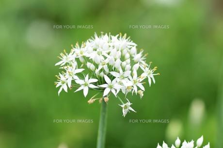 ニラの花と、花蜜や花粉を求めて花に群がるチョウや蜂などの昆虫の写真素材 [FYI01207677]