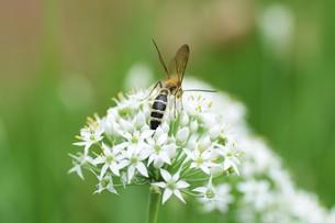 ニラの花と、花蜜や花粉を求めて花に群がるチョウや蜂などの昆虫の写真素材 [FYI01207678]