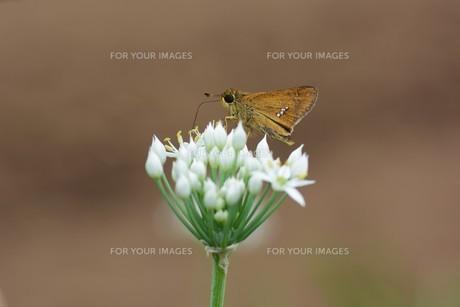 ニラの花と、花蜜や花粉を求めて花に群がるチョウや蜂などの昆虫の写真素材 [FYI01207679]